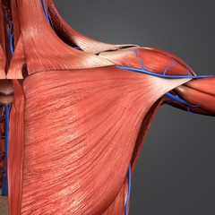 Shoulder Muscles with Veins