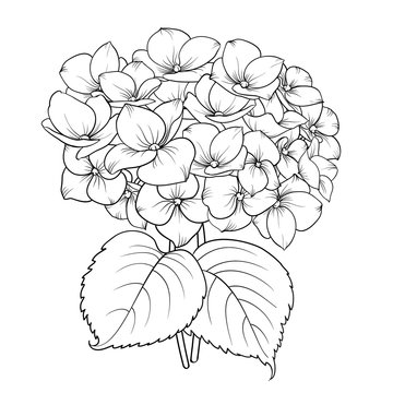 Blooming flower hydrangea on white background. Mop head hydrangea flower isolated against white. Beautiful flowers in style of engraving. Vector illustration.
