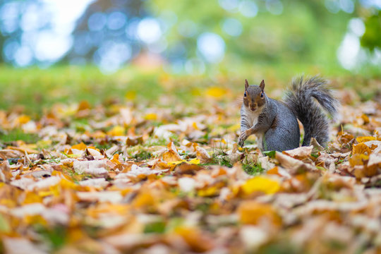 Grey Squirrel in autumn leaves in Jephson Gardens, Leamington Spa, Warwickshire, UK