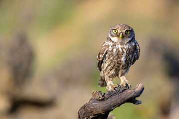 Fototapete - The little owl (Athene noctua) stands on a branch on a colorful background
