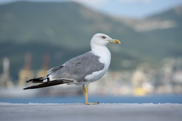 A beautiful and clean seagull, white-gray color stands on a level surface. Gray-white seagull on a blurred background