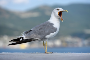 A beautiful and clean seagull is white and gray color with an open mouth on an even surface. Gray-white seagull on a blurred background
