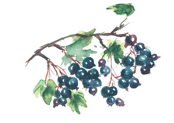 Green branch with berries of black currant, vine, grapes, leaves on white isolated background. Watercolor illustration for your design. Watercolor logo
