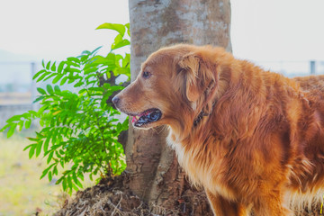 golden retriever dog on background