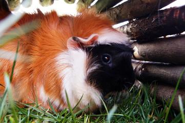 Meerschweinchen auf der grünen Sommerwiese