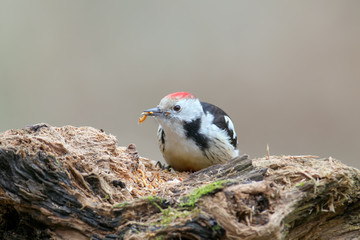 middle spotted woodpecker with a worm in its beak  sits on a log close up portrait on blurred background