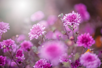Fototapeta Many lilac garden flowers in flowerbed. Beautiful nature plnats with sofy light. Closeup obraz