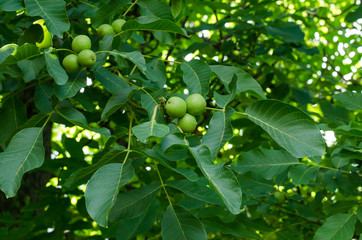 Branches of walnut tree with ripening fruits, selective focus