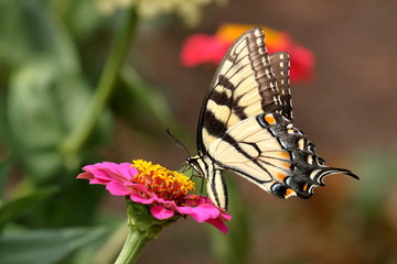 An Eastern Tiger Swallowtail Butterfly feeds on brightly colored Zinnia blossoms in the garden.