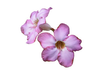 Adenium or Desert Rose, beautiful flowers isolated with green blur background and clipping path, Thailand.