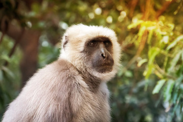 monkey with white fur
