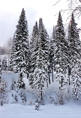 winter landscape with lots of beautiful fir trees, vertical photo