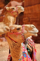 Poster Midden Oosten Portrait of camels in Petra, Jordan, Middle East