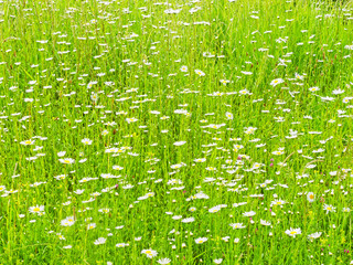 Field of daises & clover