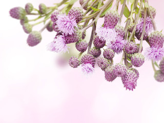 Canada thistle weed flowers blurred background