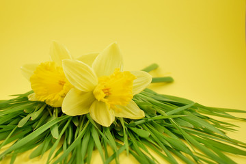 Yellow daffodils stock images. Yellow daffodils with grass on a yellow background. Easter decoration on a yellow background. Spring decoration images