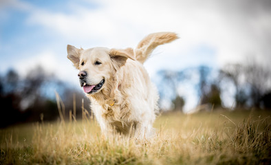 Golden Retriever in the long grass