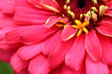 Poster de jardin Dahlia Bright Pink Heirloom Zinnia flower closeup.