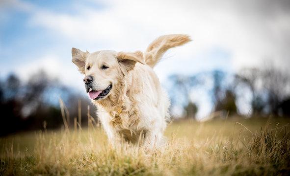 Golden Retriever in the long grass