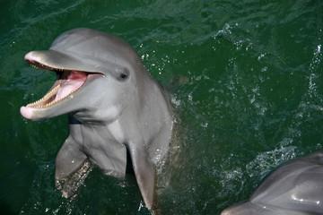 Dolphins, Cayo Blanco, Cuba