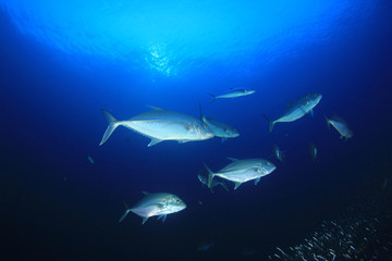 Trevally fish underwater