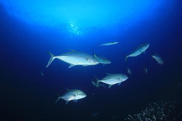 Trevally fish underwater
