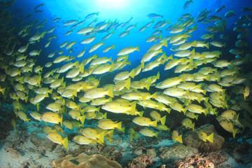 Snapper fish school
