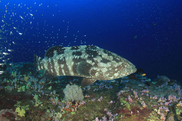 Marbled Grouper fish