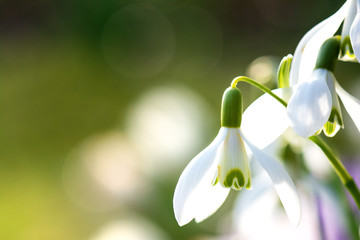 Springtime flower. Macro shot of a snowdrop surrounded by grass blades at sunset.