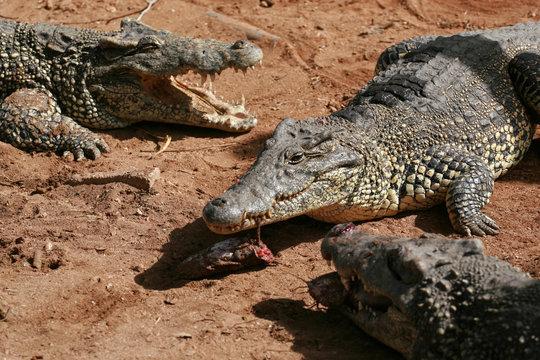 Cuban crocodile, Zapata Swamp, Zapata Peninsula, Cuba