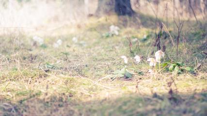 Osterglocken in Natur mit warmer Sonne