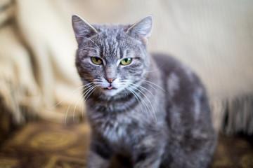 Cute funny tabby gray cat