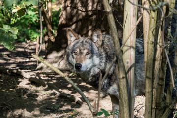 Europäischer Wolf - Canis lupus lupus