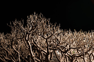 bonsai tree branches isolated on black