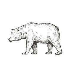 Hand drawn bear. Sketch, vector illustration.
