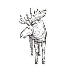 Hand drawn Elk or Moose. Sketch, vector illustration.