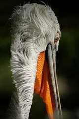 colorful tropical Pelican portrait close-up when he looks down, shot from behind