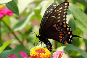An Eastern Black Swallowtail Butterfly feeds on a pink zinnia flower in my garden on a warm summer day.