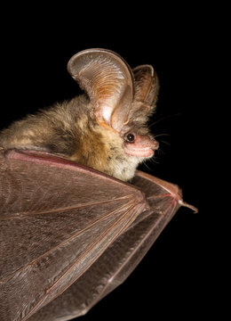 Long-eared bat flying on the dark night