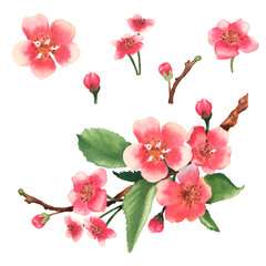 Watercolor cherry blossom branch. Set cherry flowers and buds. Illustration isolated on white background.
