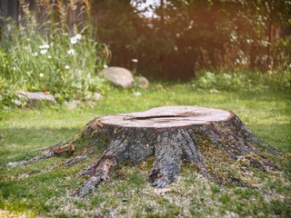 Tree stump on the lawn in the garden