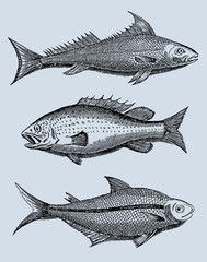 collection of three different fishes from brazil in profile view (after a vintage woodcut, illustration, engraving from the 17th century). Easy editable in llayerrs