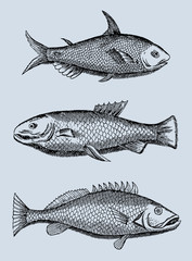 collection of three different fishes from the amazon region in south-america in profile view (after an antique woodcut, engraving, illustration from the 17th century)