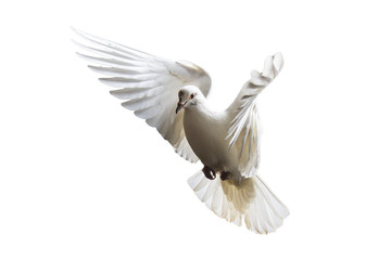 white pigeons flying on a white background