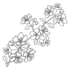 Vector branch with outline blossoming Apple flower bunch and foliage in black isolated on white background. Ornate blossom Apple flowers and leaves in contour style for spring design or coloring book.