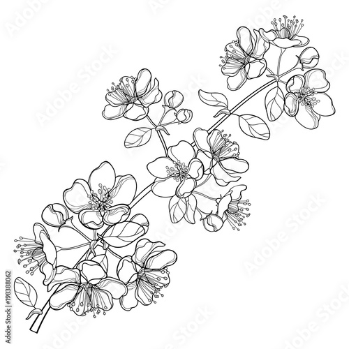 Vector Branch With Outline Blossoming Apple Flower Bunch And Foliage In Black Isolated On White Background