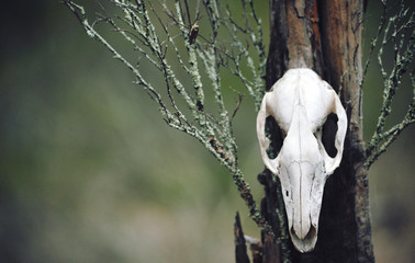 Kangaroo skull on moss covered tree stump in forest. Moody, dark, pagan and animal totem concepts.