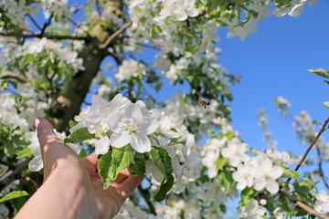 spring flowers for the background, fruit flowers