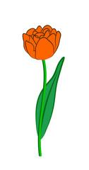 Vector illustration, flat cartoon orange tulip flower on green stem with leaf isolated on white background
