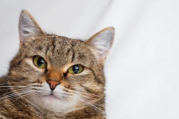 Grey tabby cat.